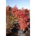 Acer palmatum, japansk dvæergahorn, grøn ahorn, kraftige, 60L, P200-250