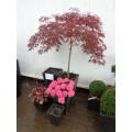 Acer palm. diss. 'Garnet', rød dværghorn, 80-100 cm krone, 80cm stamme, 35L