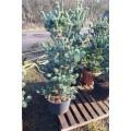Pinus parviflora Ryu-ju, blågrå penselfyr, busk, brede, P125-150, 35L