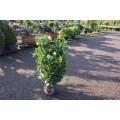 Prunus laur. 'Etna', busk, solitær, ca. 80 cm brede, kl., P80-100