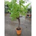 """Vitis vinifera """"Italia"""", spisedrue til drivhus, 20-30 år gammel, grøn drue til vin, 30ø, P125-150"""