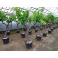 """Vitis vinifera """"Italia"""", 100-110 cm kraftig stamme, 25-30 cm st.omf., 40-50 år gammel, grøn spisedrue til drivhus, 55ø, T225-250"""