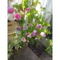 Rosa Louis Odier, gammeldags rose, rosa, duft, kraftige, 6,5L