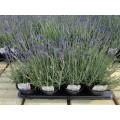 Lavendel 'Hidcote Blue' 1,5L
