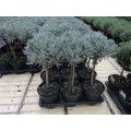Lavendel, 15-20 cm stamme, klippet i kugle, 6 stk/kasse 14Ø