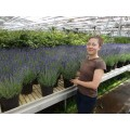 Lavendel, busk, kraftig,19ø