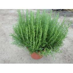 Rosmarin, meget kraftig busk, 30ø