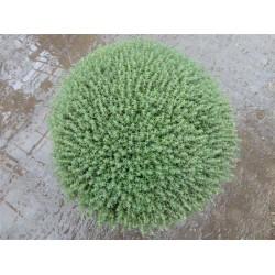 Timian, bred busk, 30ø