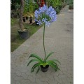 Agapanthus africanus, afrikansk skærmlilje, blå, kraftige, får blomst første år, samme pris i knop, 3L