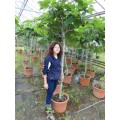 Ficus carica, figen, 80-110 cm stamme, kraftig krone, 12-14 cm st.omf, 45ø, T150-200