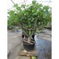 Ficus carica, figen, 16-18 cm st.omf., kraftig krone, 60ø, T150-200