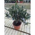 Olea europaea, minitræ i rød potte, tøt klippet krone, T35-40, 17ø