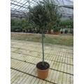 Minitræ 50-60 cm stamme, 30-40 cm kugle, T100, 20ø