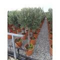 Oliventræ, 80-90 cm stamme, 60-80 cm tæt krone, 10-12 cm st.omf., 35ø