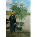 Oliventrær, 80-100 cm stamme, 100-125 cm tæt krone, 20-24 cm st.omf., T225-250, 50-60ø