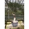 Olea europaea, stort gammelt træ, st.omf. 75-85 cm, 70-200 cm stamme, 90ø/280L, T250-400