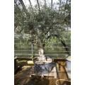 Olea europaea, stort gammelt træ, st.omf. 90-120 cm, 70-200 cm stamme, 90ø/280L, T300-400