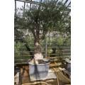 Olea europaea, sort gammelt træ, st.omf. 130-230 cm, 70-150 cm stamme, 120ø/500L, T350-450